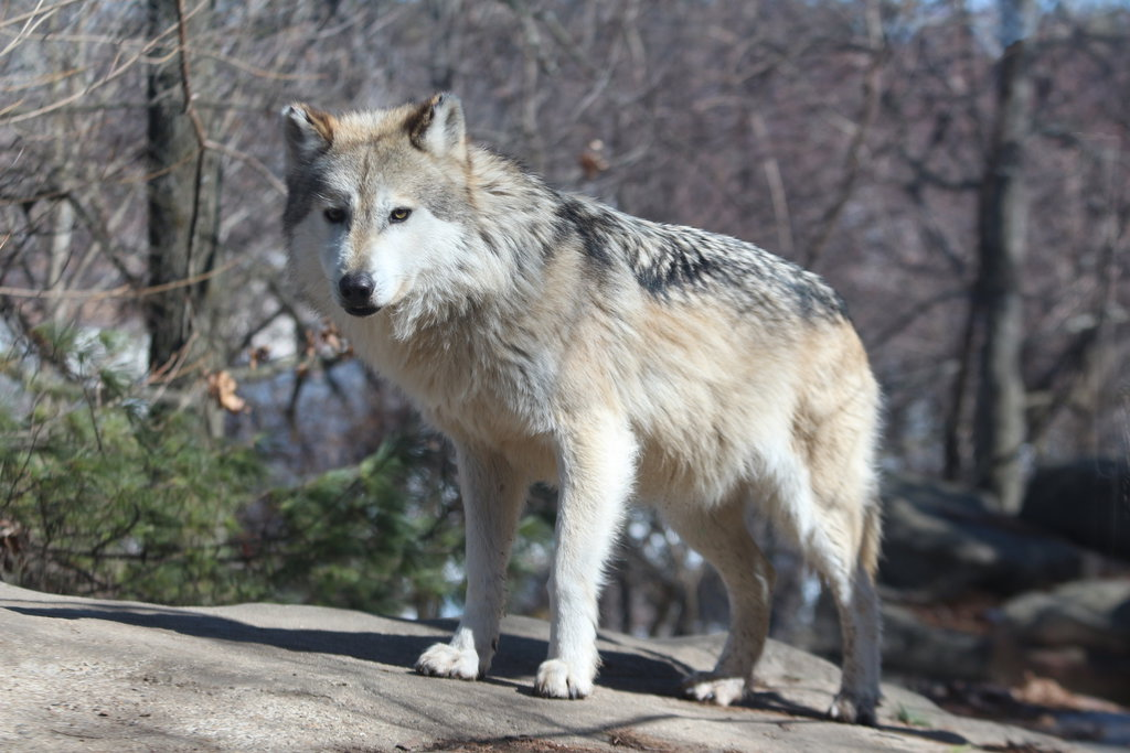 Senate panel backs bill to drop wolf protections in 4 states