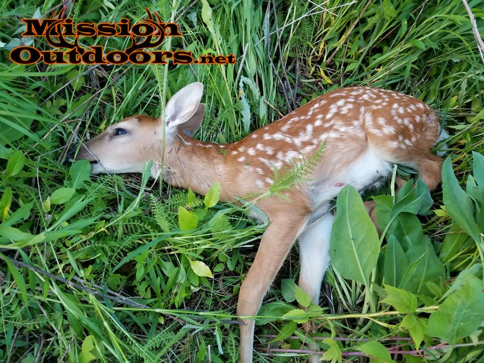 Front Row for a Fawn killed by a Coyote