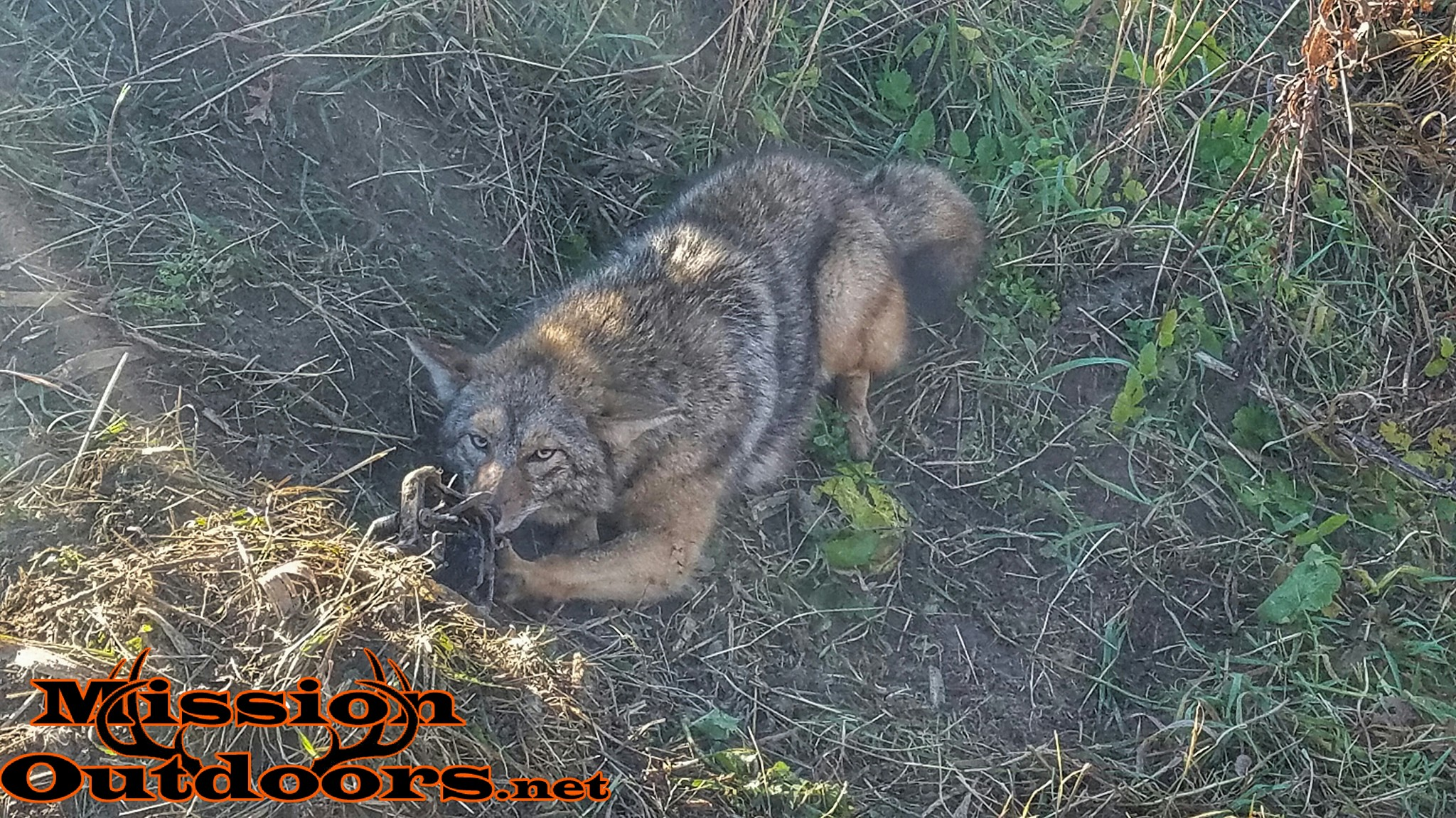 Trapping Coyotes